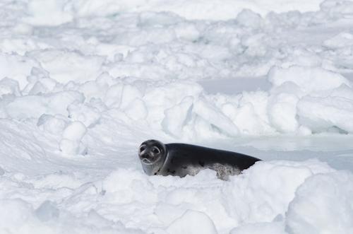 Seal on ice pan - Twillingate