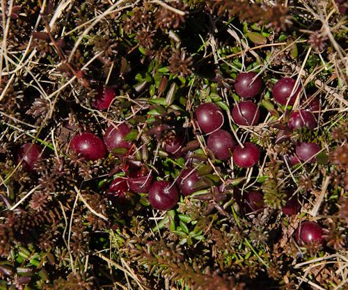Marshberry fields - Cape Spear Path