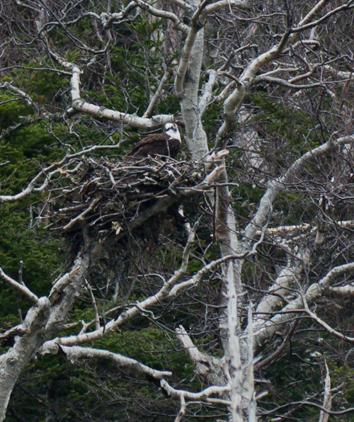 Osprey on its nest - Middle Cove