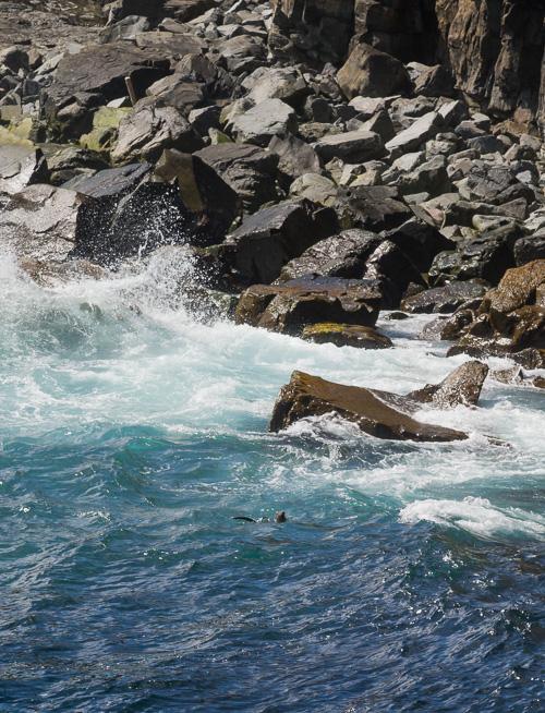 River otter below Queens River - Spout Path