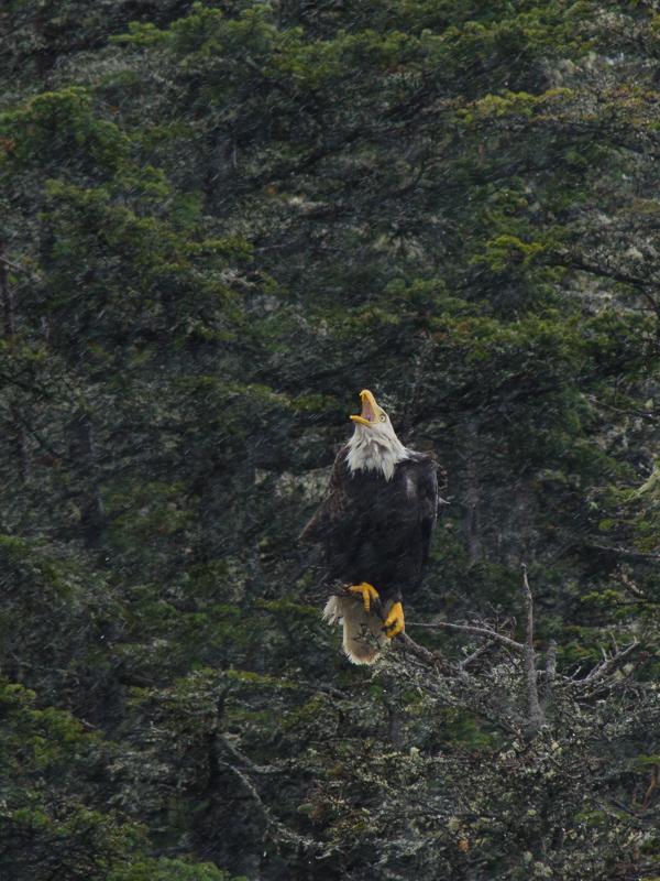 Bald eagle, singing in the rain - Beaches Path