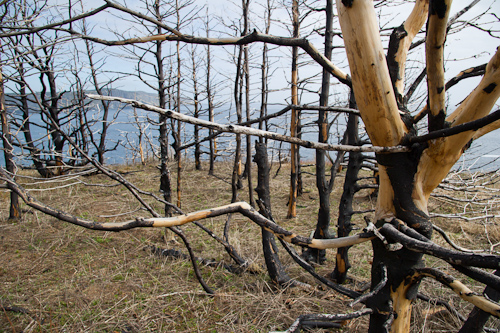 Burnt trees at Torbay Motion - Silver Mine Head Path