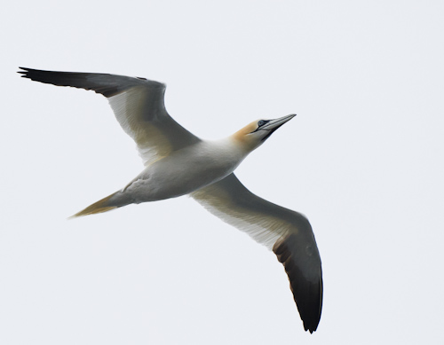 Northern Gannet - Beaches Path