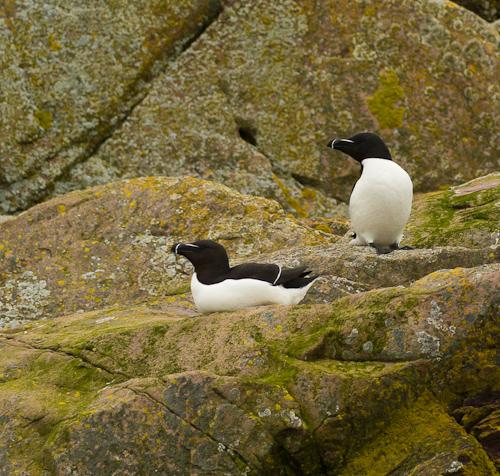 Razorbills - Gull Island