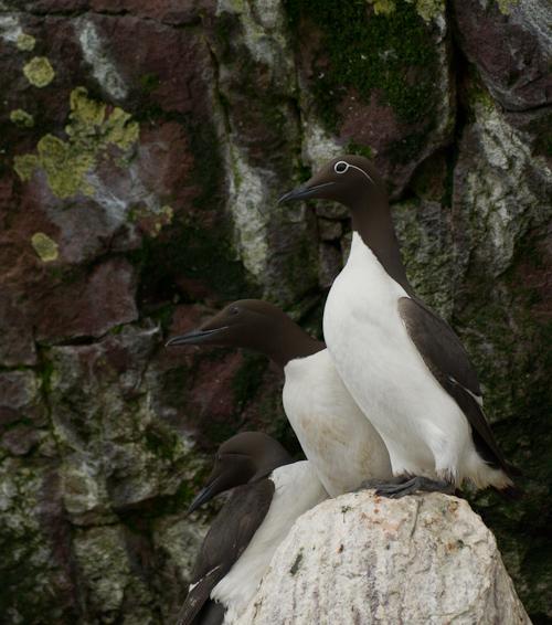 Common Murres - Gull Island