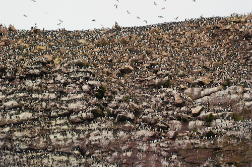 Lots of Common Murres - Green Island