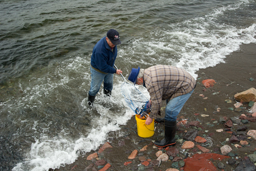 Scooping up capelin - Holyrood