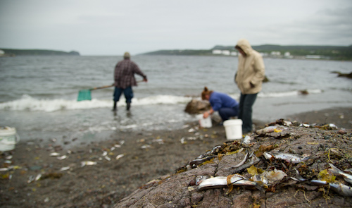 Scooping up dead capelin - Holyrood