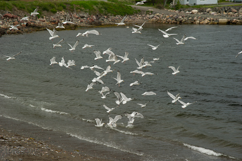 Herring gulls diving for capelin - Holyrood
