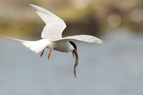 Tern gobbles down a capelin - Holyrood
