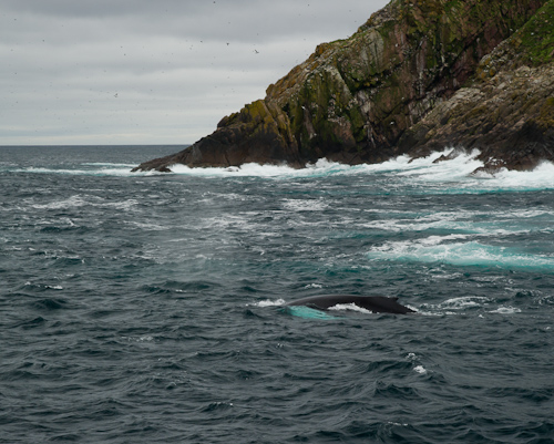 Humpback Whale near Gull Island - Witless Bay Ecological Reserve