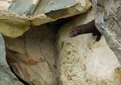 Mink on the rocks - Bay Bulls