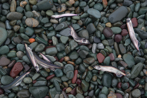 Capelin on the beach - Middle Cove