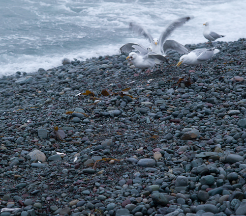 Hungry gulls - Middle Cove