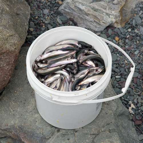 Bucket of Capelin - Middle Cove