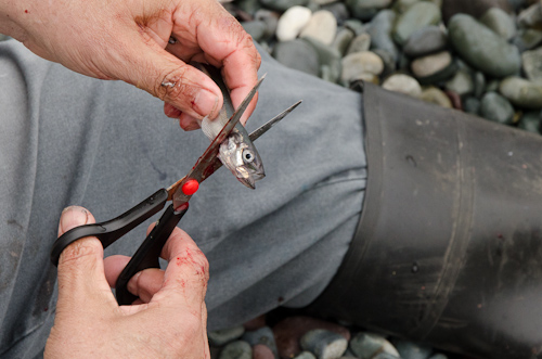 Cleaning capelin on the beach - Middle Cove