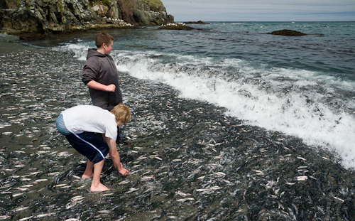 Capelin rolling everywhere... - Middle Cove