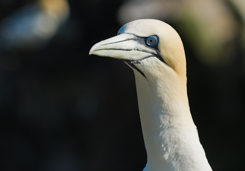Gannet's portrait - Cape St. Mary's Ecological Reserve
