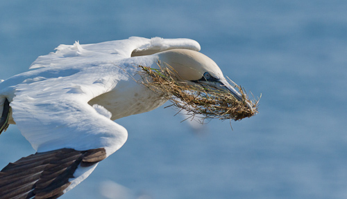 Gannet with nest material - Cape St. Mary's Ecological Reserve