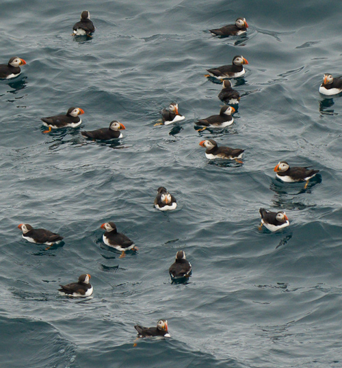 Puffin Party - Cape Spear