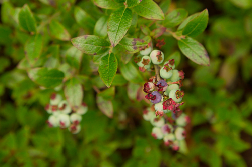 Very young Blueberries - Sugarloaf Path