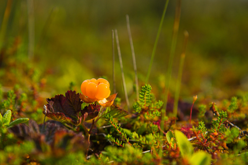 Bakeapple in the marshes - Cape Spear