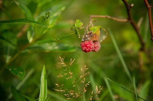 Raspberries - Cobbler Path
