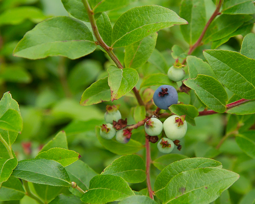 Blueberries, not quite there yet - Stiles Cove Path