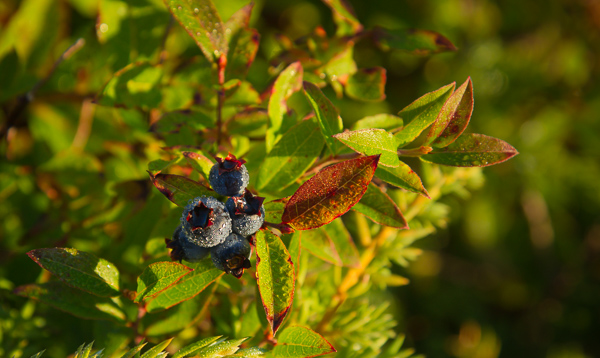 Morning dew on blueberries - Cobbler Path