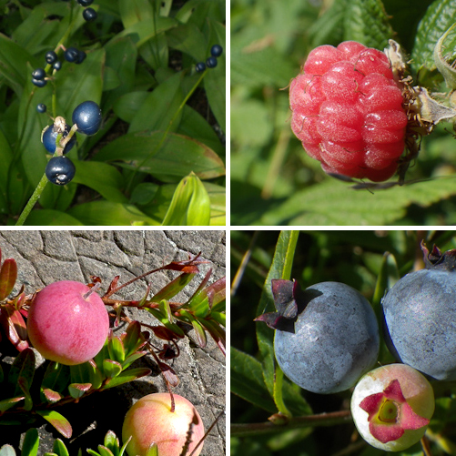 Blue-bead Lilly, Raspberries, Marshberries & Blueberries - Silver Mine Head Path