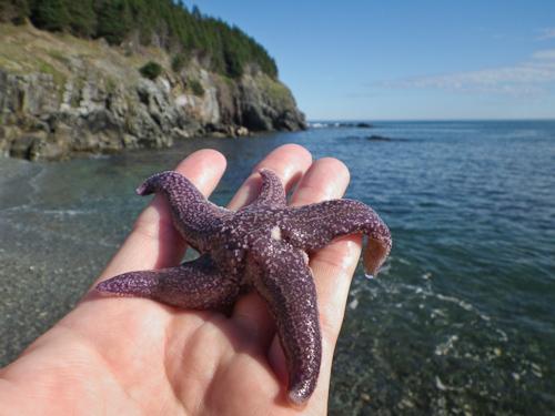Purple starfish - Middle Cove beach