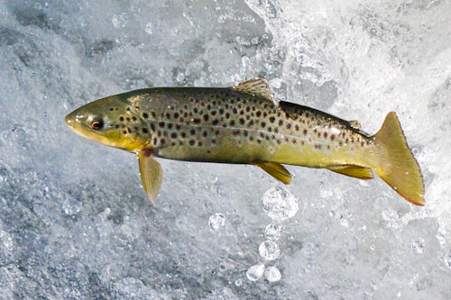 Jumping Brown Trout - Bowring Park, St. John's