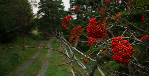 Dogberries along the way - Father Troy's Trail