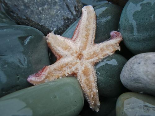 Starfish #2 - Middle Cove beach