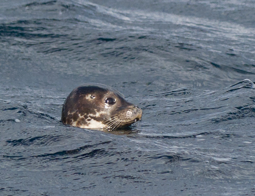 Disturbed Harbour Seal - Deadman's Bay Path