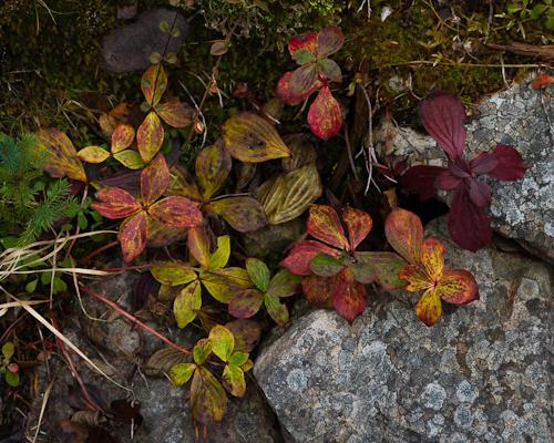 Crackerberries in fall attire - Deadman's Bay Path