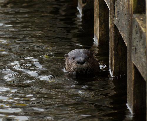 River Otter - St. Philip's