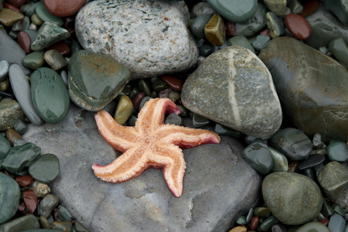 Starfish - Middle Cove beach