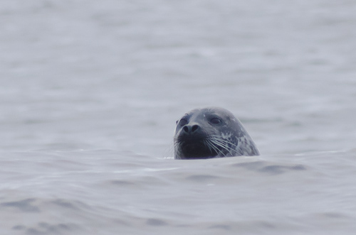 Curious seal in Camel Cove - Beaches Path