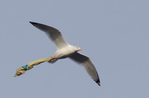 Bagged Herring Gull - Sugarloaf Path