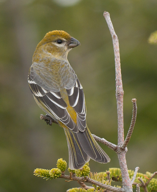 Pine Grosbeak - Cobbler Path
