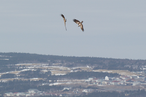 Juvenile Bald Eagles at play - Sugarloaf Path