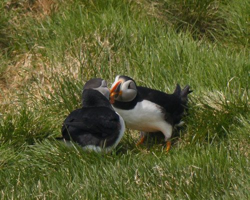 Puffins kissing - Elliston