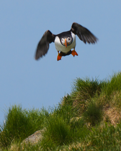 Puffin landing - Elliston