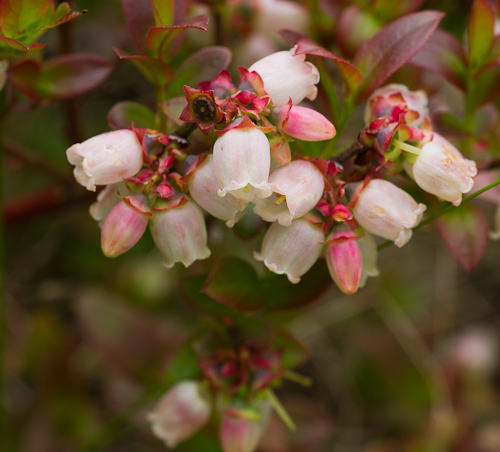Blueberry blossoms - Caplin Bay Path