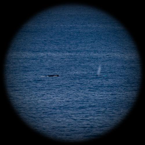 Binocular Humpback Whales - Cobbler Path