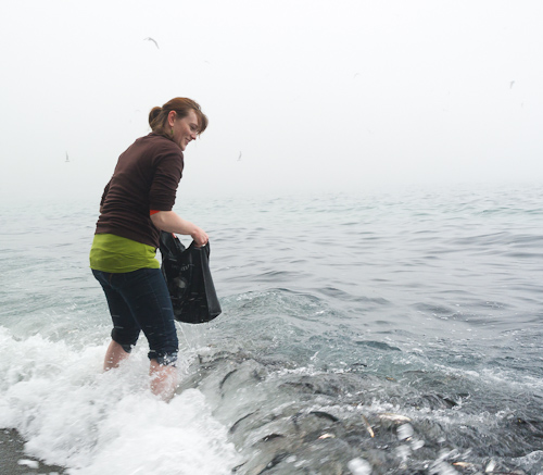 Catching capelin with a bag - Middle Cove
