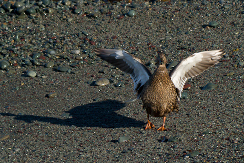 A duck on the beach - Middle Cove