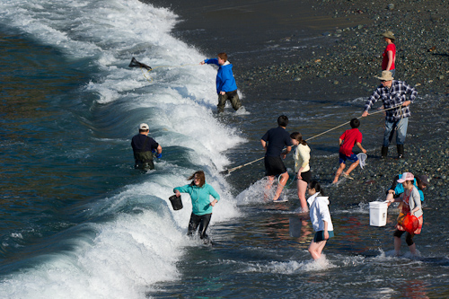 Braving the surf for capelin - Middle Cove