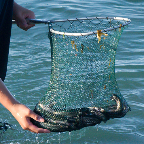 Capelin in a dip net - Middle Cove